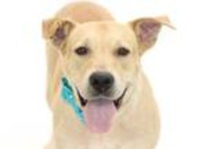 Adopt DIAMOND a Pit Bull Terrier