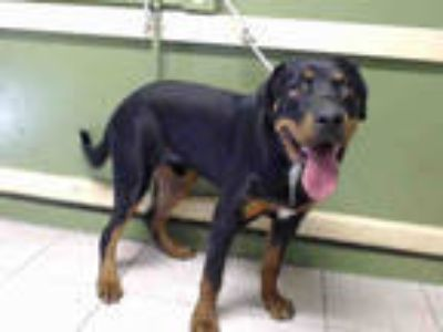Adopt RILEY a Black - with Tan, Yellow or Fawn Rottweiler / Mixed dog in