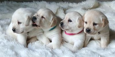 AKC English Labrador Retriever puppies