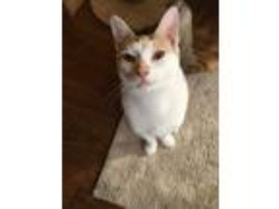 Adopt Tango a White (Mostly) Turkish Van (short coat) cat in Palm Beach Gardens