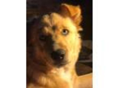 Adopt Maya a Tan/Yellow/Fawn - with White Spaniel (Unknown Type) / Mixed dog in