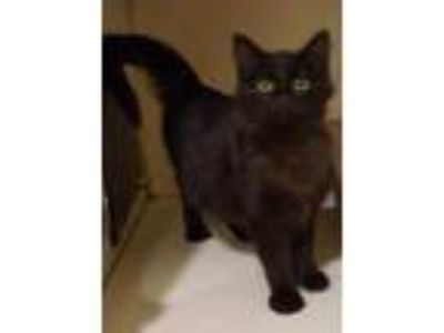 Adopt Katy a All Black Domestic Mediumhair / Domestic Shorthair / Mixed cat in