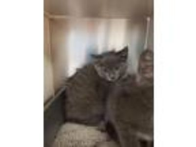 Adopt Colby a Domestic Short Hair