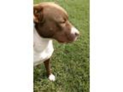 Adopt Dolly a Pit Bull Terrier