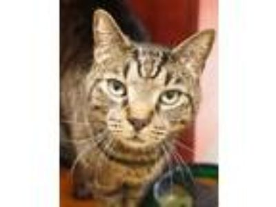 Adopt Milkshake a Domestic Short Hair, Tabby