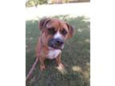 Adopt Indy a Boxer, Mixed Breed