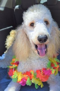 AKC Standard Poodle Apricot Male-Michigan