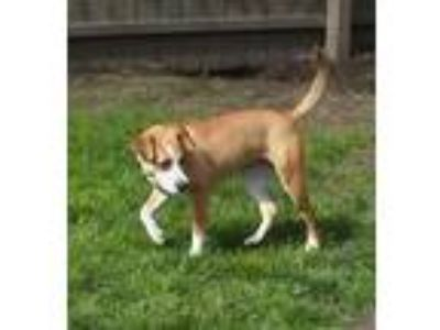 Adopt Betty a Jack Russell Terrier / Mixed dog in Laingsburg, MI (25319148)