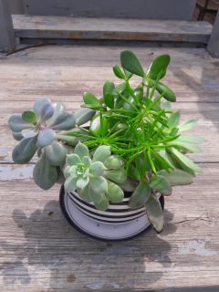 Succulents in a cup planter