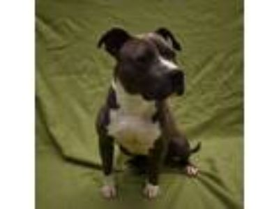 Adopt Wifi a Pit Bull Terrier