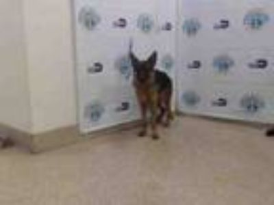 Adopt CALA a German Shepherd Dog