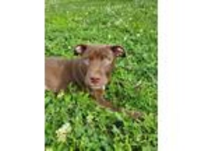 Adopt Luther a Brown/Chocolate - with White Labrador Retriever / Pit Bull