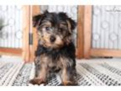 Squirt Amazing ACA Male Yorkie Puppy