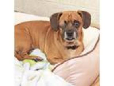 Adopt Buddy a Brown/Chocolate Pug / Mixed dog in Atlanta, GA (25877162)