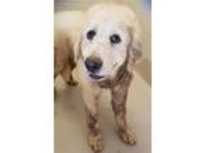 Adopt Sd-17 a Great Pyrenees