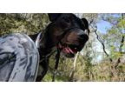 Adopt Max a Black - with White Boxer / Labrador Retriever dog in Killeen