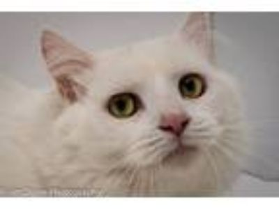 Adopt Kobie a White Domestic Longhair (long coat) cat in Martinsburg