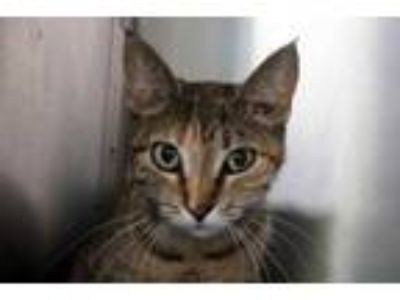 Adopt Devon a Brown or Chocolate Domestic Shorthair / Domestic Shorthair / Mixed