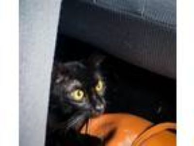Adopt Inky a All Black Domestic Shorthair / Mixed (short coat) cat in St.