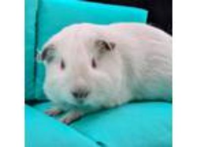 Adopt Rosalie a White Guinea Pig / Mixed small animal in Largo, FL (25266935)