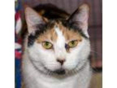 Adopt Amaya a White Domestic Shorthair / Domestic Shorthair / Mixed cat in