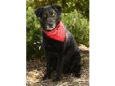 Adopt Max Black a Black Labrador Retriever, Husky