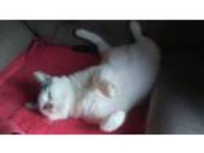 Adopt Snowball [CP] a Domestic Short Hair