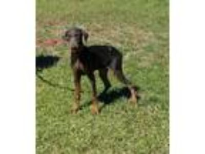 Adopt ROGUE a Gray/Blue/Silver/Salt & Pepper Doberman Pinscher / Mixed dog in