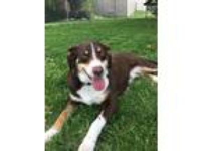 Adopt Bridget a Collie / Mixed dog in St. Charles, MO (25349248)
