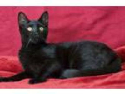 Adopt Piper a All Black Domestic Shorthair / Domestic Shorthair / Mixed cat in