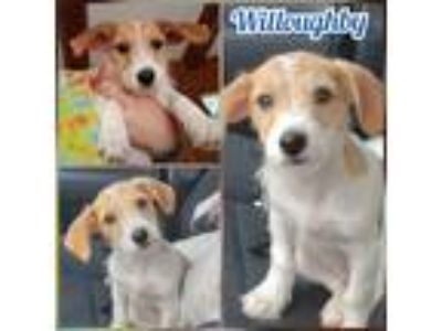 Adopt Willoughby a Brown/Chocolate - with White Dachshund / Mixed dog in Va