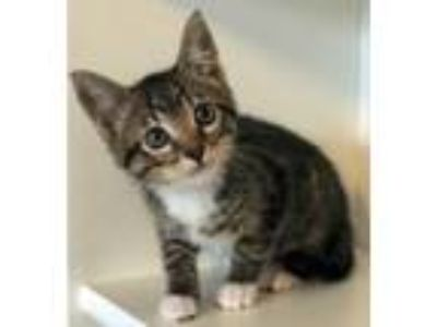 Adopt Eclair a Brown Tabby Domestic Shorthair / Mixed (short coat) cat in San