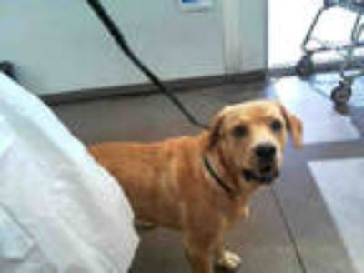 Adopt SAND MAN a Brown/Chocolate Labrador Retriever / Mixed dog in Dallas