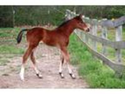 2019 Warmblood Filly both parents jumped to Grand Prix