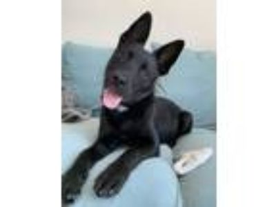 Adopt Lucille Lu a Black Chow Chow / Rottweiler / Mixed dog in Boston