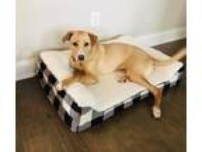 Adopt Arlo a Tan/Yellow/Fawn Labrador Retriever / Mixed dog in Dacula