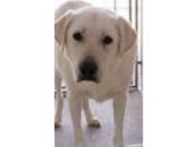 Adopt Sawyer a Great Pyrenees