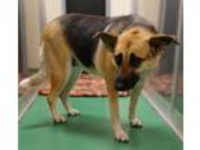 Adopt Lady a Black German Shepherd Dog / Mixed dog in The Colony, TX (25236843)