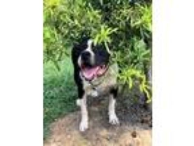 Adopt Levi a Black - with White American Staffordshire Terrier / Pit Bull
