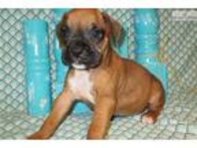AKC registered female Boxer puppy (Minnie)