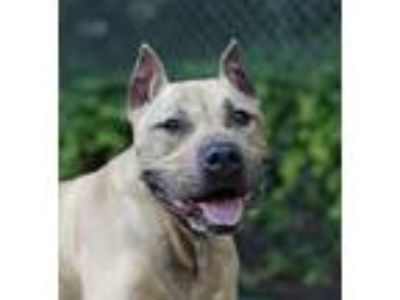 Adopt Harry a Tan/Yellow/Fawn Pit Bull Terrier / Mixed dog in Port Washington