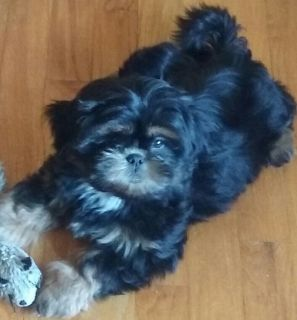 Shih Tzu PUPPY FOR SALE ADN-95862 - AKC Male Shih Tzu Puppy