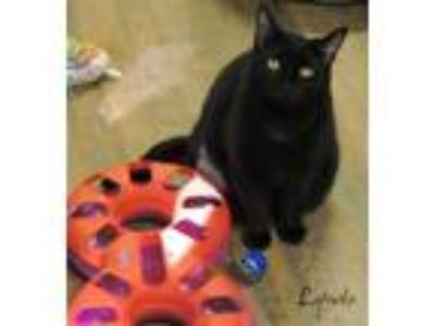 Adopt Lynda a All Black Domestic Shorthair (short coat) cat in Macon