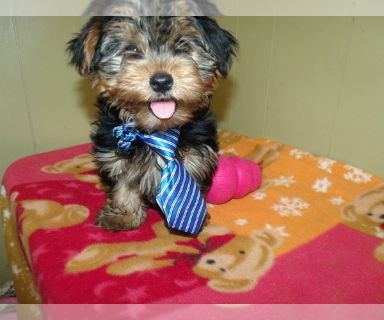 Yorkshire Terrier PUPPY FOR SALE ADN-131403 - Hunter the Yorkie