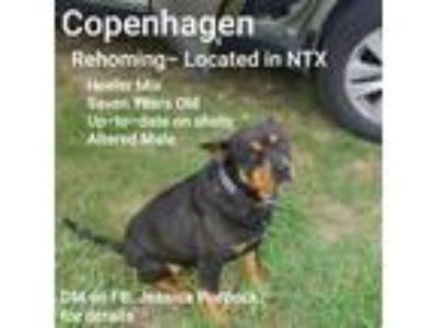 Adopt Copenhagen a Black - with Tan, Yellow or Fawn Australian Cattle Dog /