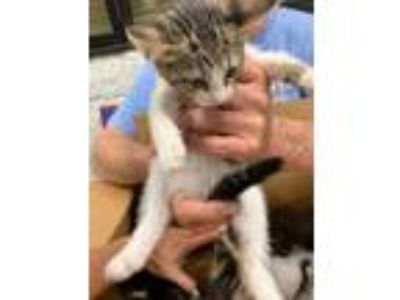 Adopt 41877596 a Gray or Blue Domestic Shorthair / Domestic Shorthair / Mixed