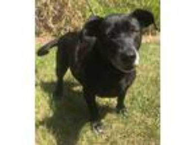 Adopt Finster a Black - with White Labrador Retriever / Mixed dog in Orlando