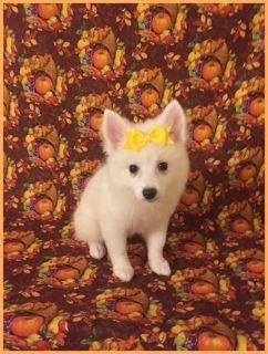 American Eskimo Dog PUPPY FOR SALE ADN-104910 - American Eskimo Amy female