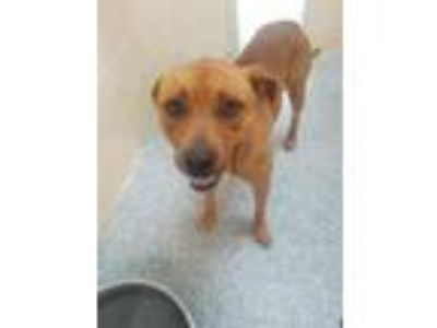 Adopt TONY a Pit Bull Terrier, Mixed Breed
