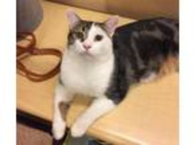 Adopt Pipsqueak a Brown Tabby Domestic Shorthair / Mixed (short coat) cat in